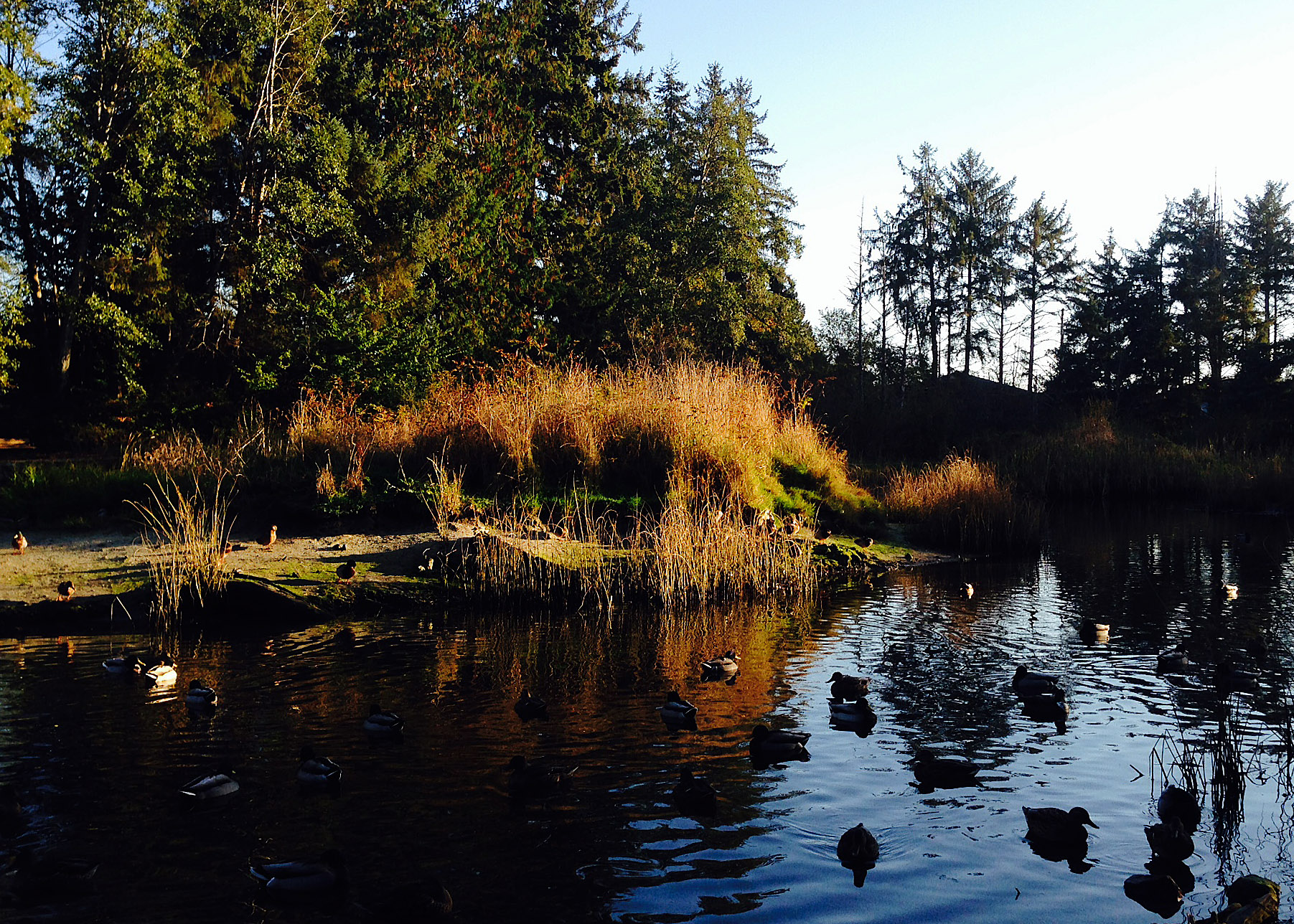 When I was a kids I though every town had a marsh where you feed the ducks…Little did I know how lucky I was…The amazing beauty of the Sechelt Marsh in the Fall.