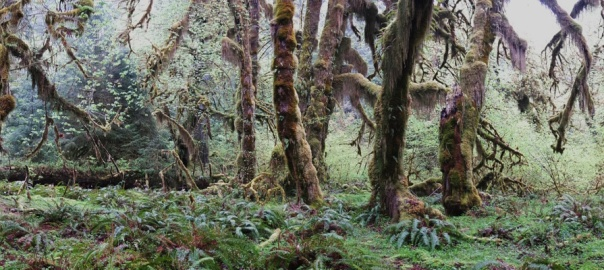 The moss covered tree's of the Hoh Rain Forest, Olympic Pensula National Park